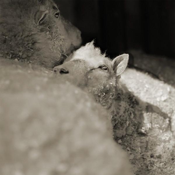 Isa Leshko, Finn Sheep, Both Age 12