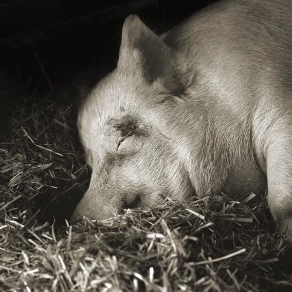 Isa Leshko, Teresa, Yorkshire Pig, Age 13