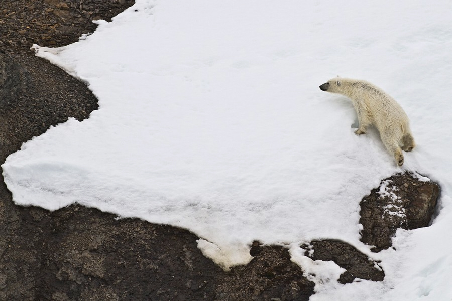 Polar Bear Invades Bird Colony
