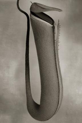 Nepenthes Albormarginata