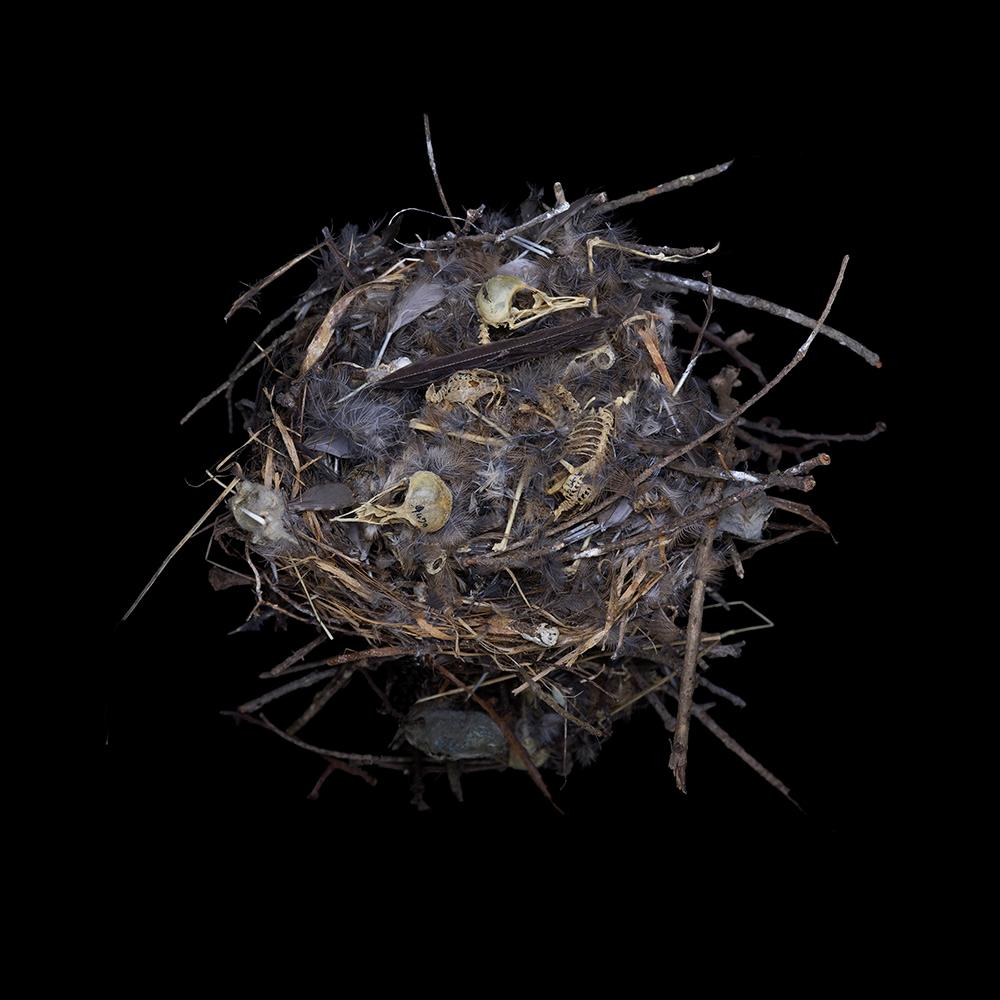 House Wren (abandoned nest)