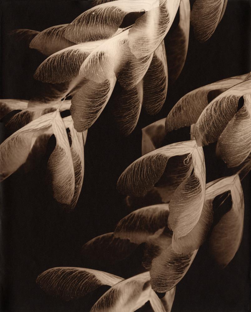 Ash Seeds III