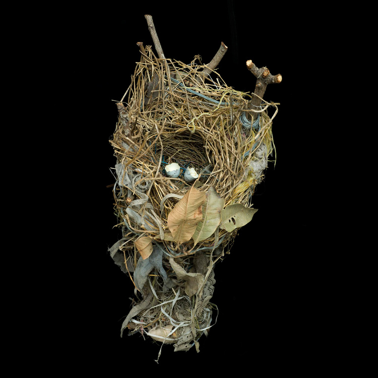 Sharon Beals, Nests, Great-Tailed Grackle