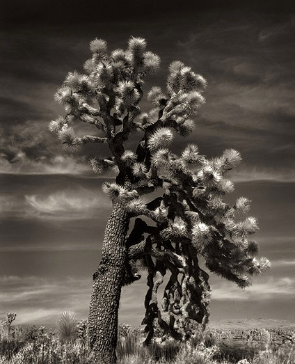 Joshua Tree Weeping