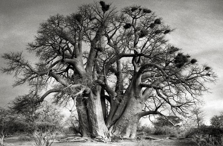 The Chapman's Baobob