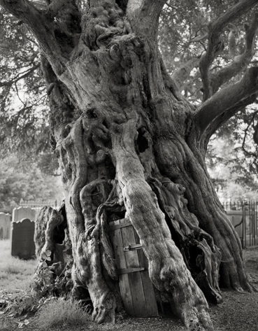 The Crowhurst Yew