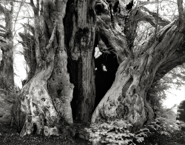 The Linton Yew
