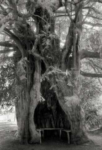 The Much Marcle Yew