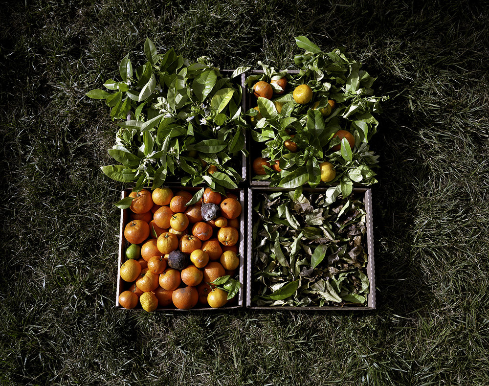 Orange Tree, Blossoms, Leaves and Fruit