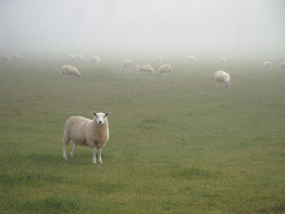 Ewa Monika Zebrowski,  sheep