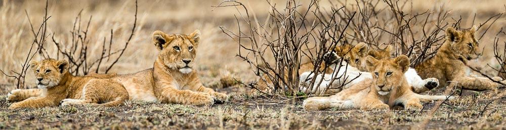 Lion_pan.jpg