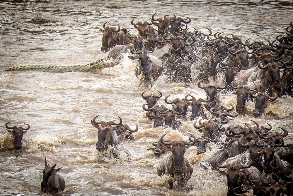 The Great Migration is on every passionate photographer's Bucket List. The sheer magnitude and excitement of this spectacle, as 1-1/2 million wildebeest, zebras and gazelles plow through the crocodile-infested Mara River in search of greener pastures, is not only visually overwhelming but a photographer's feast. Prepare for four days on the Mara at the peak time for crossing, ensuring our group the best chances of multiple crossings and maximum photo opportunities.