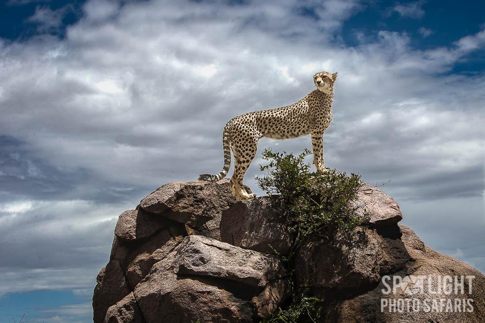 Cheetah_rock_1.jpg