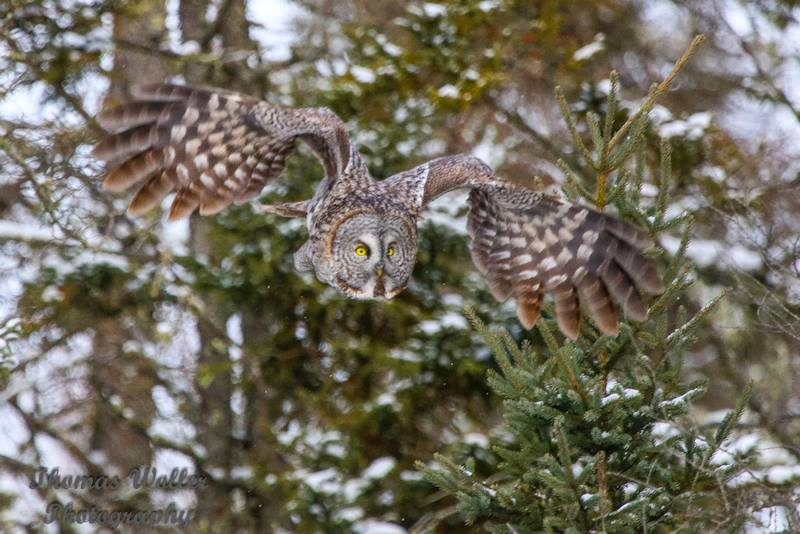 tom owl.jpg