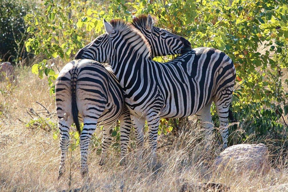 tom zebras.jpg