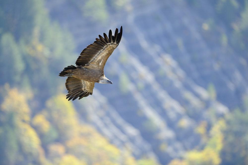 vautourfauveautone.jpg