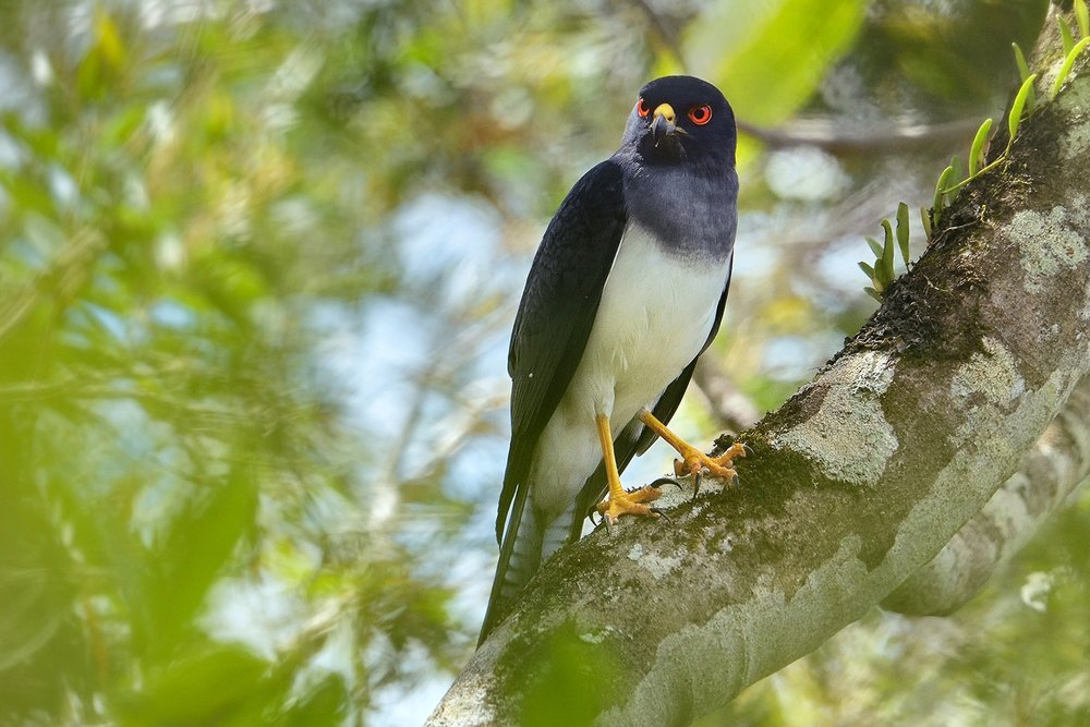 """NEW CALEDONIA   Tour the """"Grande terre"""" with a visit to the loyalty islands - 30 endemic species and tropical seabird colonies to be found. Paul holds the position of top eBirder for New Caledonia and has vast knowledge of the area.  Enquire→"""