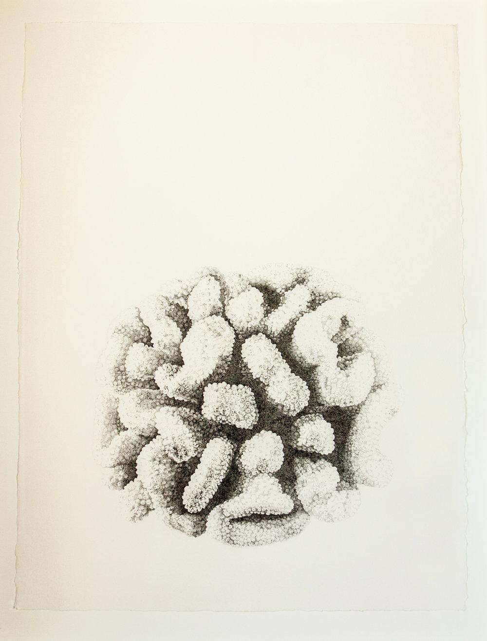 Pocillopora meandrina (cauliflower coral)