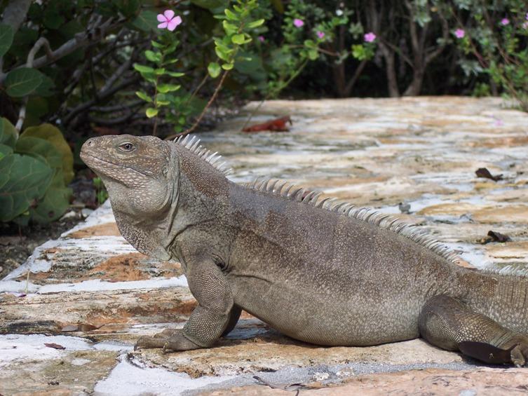 Nature-iguana-2.jpg