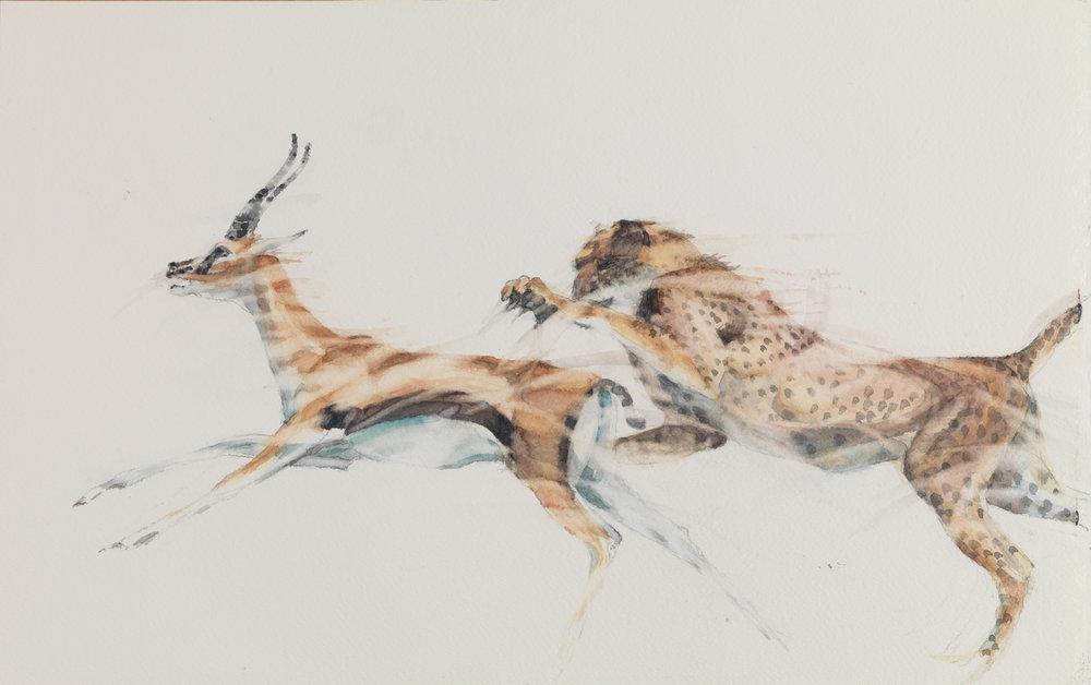 """Cheetah closing in on a Gazelle Watercolour   h. 12.75"""" w. 20.25"""" (h. 32.50cm w. 51.40cm)"""