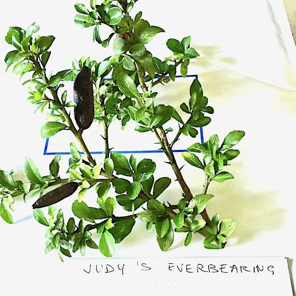 Judy's Everbearing