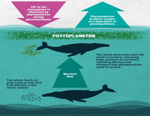 Figure 1: Whales aid phytoplankton blooms Source: WDC, Whale and Dolphin Conservation