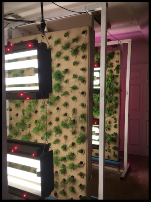 Chamomile and basil in aquaponic wall panels that each hold over 300 plants!