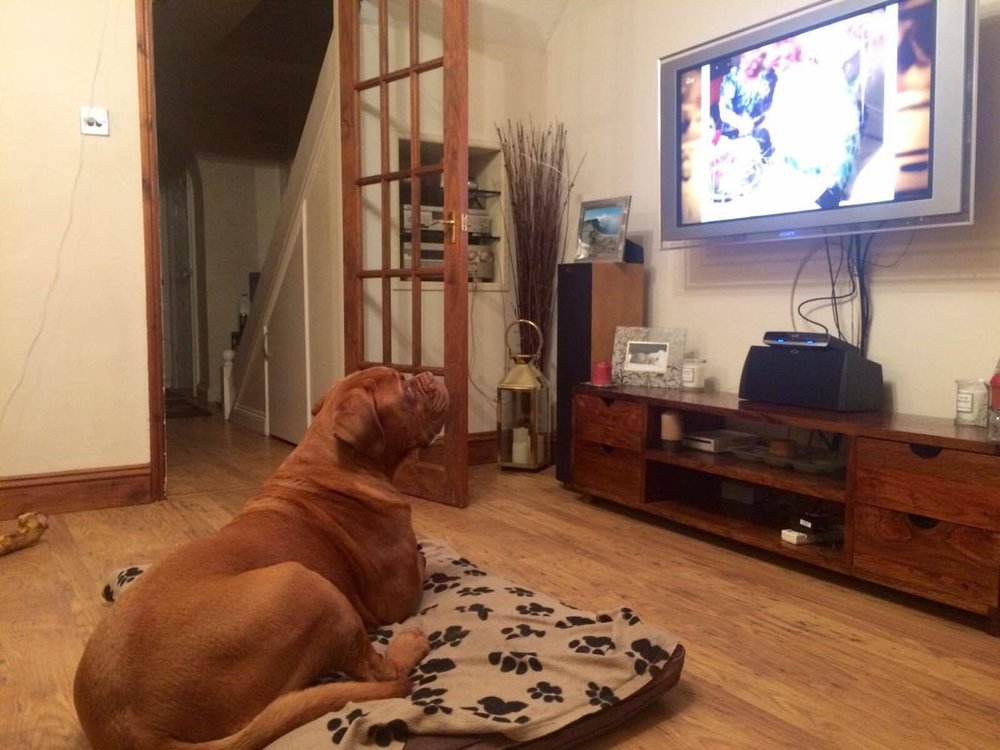 Hugo likes to watch the TV - nothing will distract him from getting his 'We've Been Framed' fix!