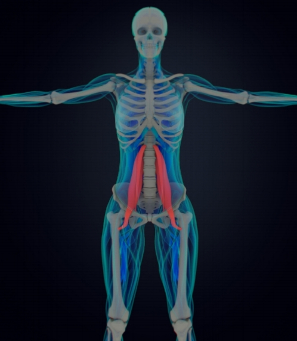 The psoas (shown in red)