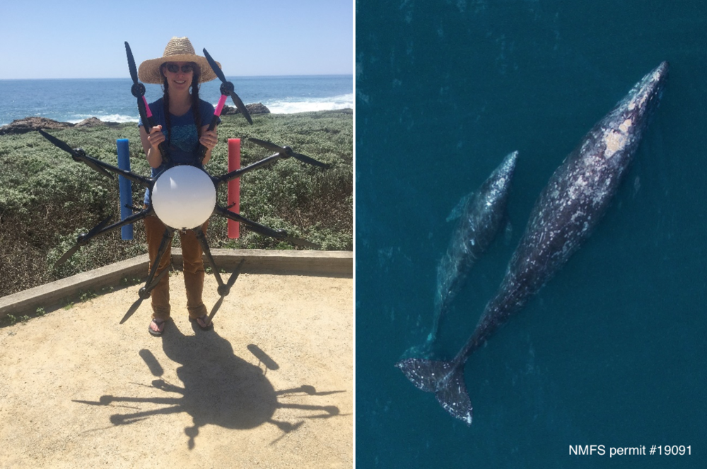 Image showing Dr. Holly Fearnbach holding the octocopter (left); Overhead images of a female/ calf gray whale pair (right) as they migrate along the coast of Central California. Image taken using an unmanned octocopter at an altitude of >150ft above the whale, with research approach authorized by NMFS permit # 19091. Credit: Durban, Fearnbach; NOAA Southwest Fisheries Science Center.