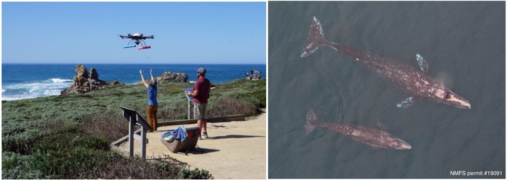 Left: Image showing Holly retrieving the octocopter after flight operations at Piedras Blancas. Right: Overhead image of a gray whale female and her calf migrating north past Point Piedras Blancas, CA. Photo taken from an unmanned octocopter ~160ft above the whales, with flights over whales authorized by NMFS permit #19091.
