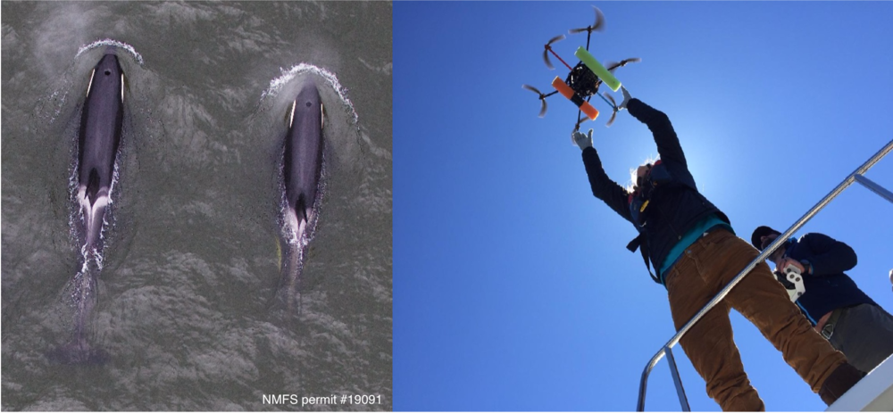 (Left) Aerial image showing two Southern Resident killer whales (J16 and her adult daughter J36) taken with an unmanned hexacopter that was flown ~100ft above the whales under NMFS permit #19091. Images like this are analyzed to estimate size and evaluate body condition of individuals in this endangered population. (Right) Image of Holly Fearnbach and John Durban during flight operations.