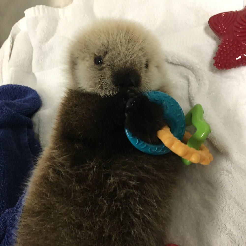Dr. Lahner stabilized and provided medical care for this adorable orphaned sea otter pup, Rialto, who has been placed in long-term human care with the Vancouver Aquarium. Currently in Washington State there are no facilities designed or permitted to care for endangered marine mammals like Rialto in Washington.