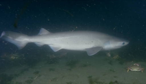 Bluntnose Sixgill Shark ( Hexanchua griseus )   The bluntnose sixgill shark is one of the largest sharks that inhabit Washington waters reaching up to13ft. Unlike most shark species which have only five gills, the bluntnose sixgill gets its name for having six.   Photo by:  Laura James