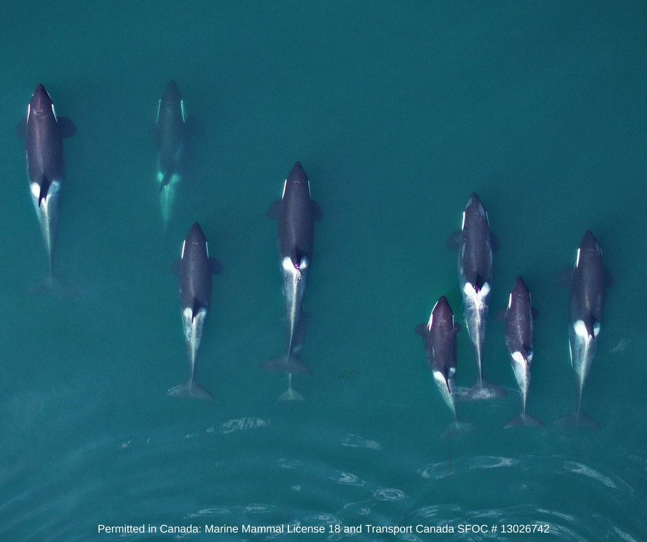 Vertical image of Northern Resident killer whales, which will be used to compare their growth and body condition to that of endangered Southern Resident killer whales. Image collected using an unmanned hexacopter at altitude of >100ft above the whales, permitted in Canada under the Species at Risk Act (Marine Mammal License 18) and flight authorizations from Transport Canada (SFOC # 13026742).