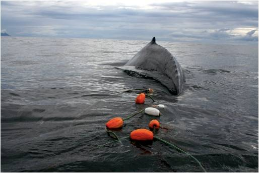 Photo credit: IWC - Global Whale Entanglement Response Network