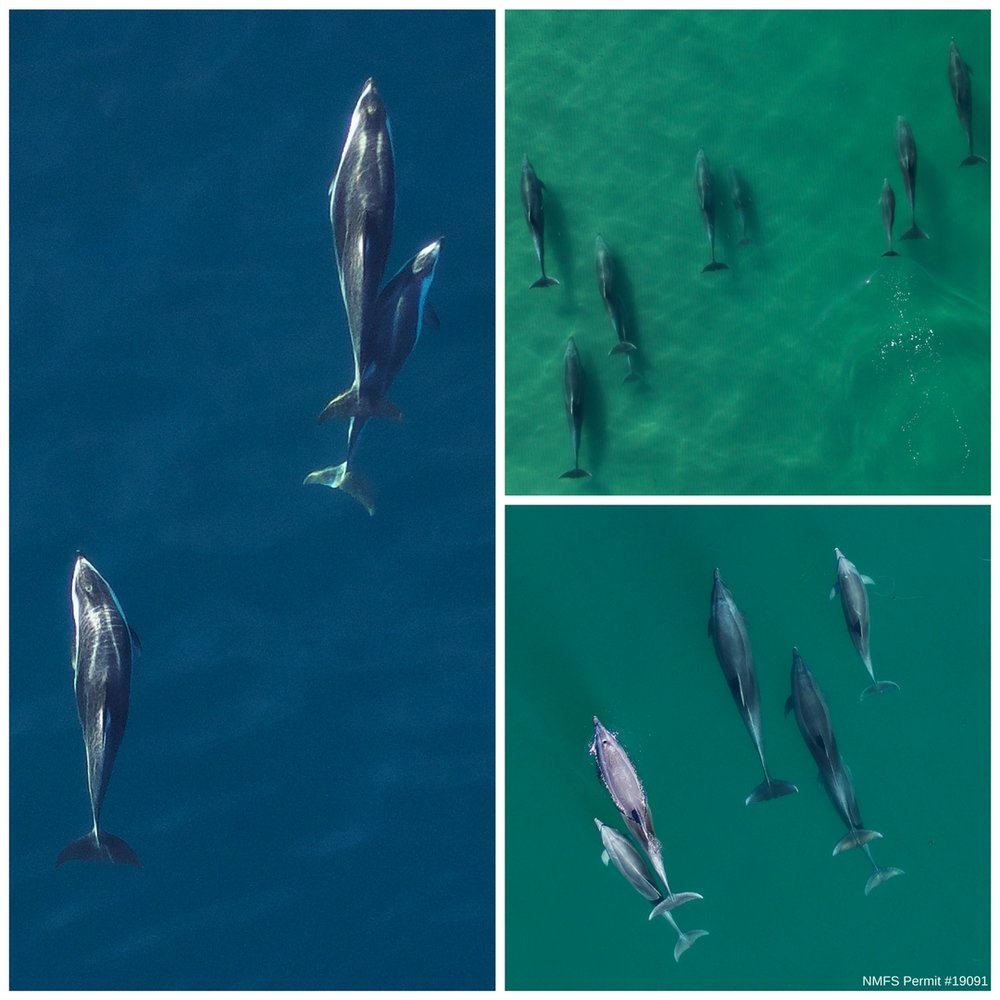 Aerial images of a trio of Pacific white-sided dolphins (left), a group of bottlenose dolphins swimming in the shallow surf zone (top right), and three adult female bottlenose dolphins with their small calves (bottom right) . Images were collected in the coastal waters off San Diego County for photogrammetry measurements with an unmanned hexacopter at ~100ft altitude, with authorization under NMFS permit #19091.