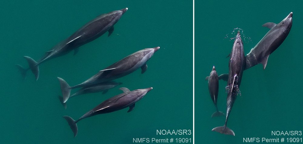 Aerial images of two groups of coastal bottlenose dolphins off San Diego County. Images were taken with an unmanned hexacopter at >80ft altitude, with authorization under NMFS permit #19091.