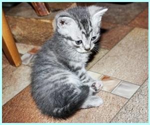 Street Bred Kitten