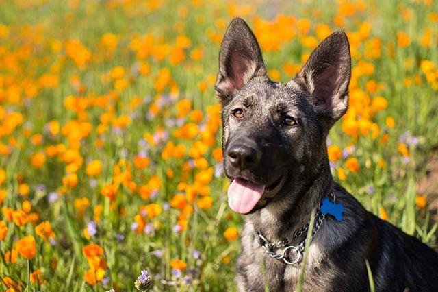 Been out adventuring! . . . . . . . #gsd #figueroamountain #poppies #dogsofinstagram #dog #puppylove #puppy #puppyoftheday #gsdmix #huskymix #shepsky #gsdlove #dogs_of_instagram #dogsofig #dogslife #hiking #adventure #familyphoto #dogscorner #shepherdsofinstagram