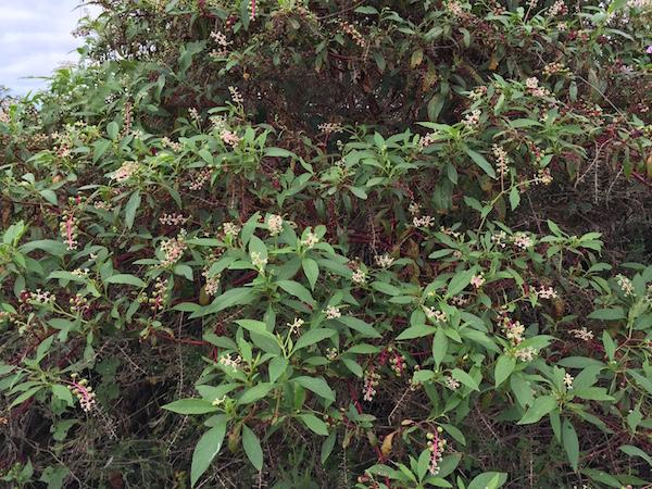 Pokeweed, Phytolacca americana . Image courtesy of  Gordon Tillman .