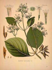 Cinchona succirubra Pav. ( Cinchona pubescens  Vahl), Quinine