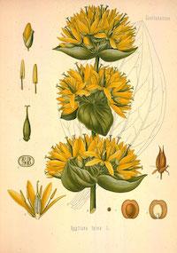 Gentiana lutea L.,  Gentiana lutea , Yellow Gentian