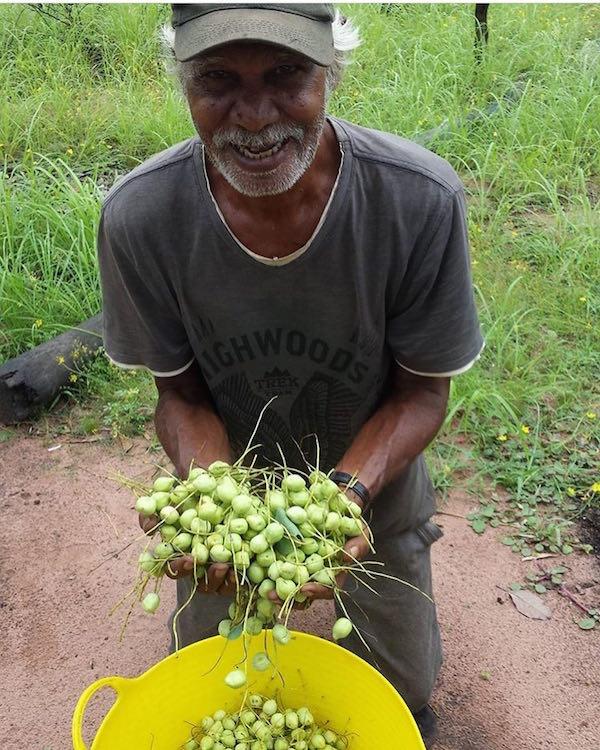 Bruno Dunn harvesting kakadu plums