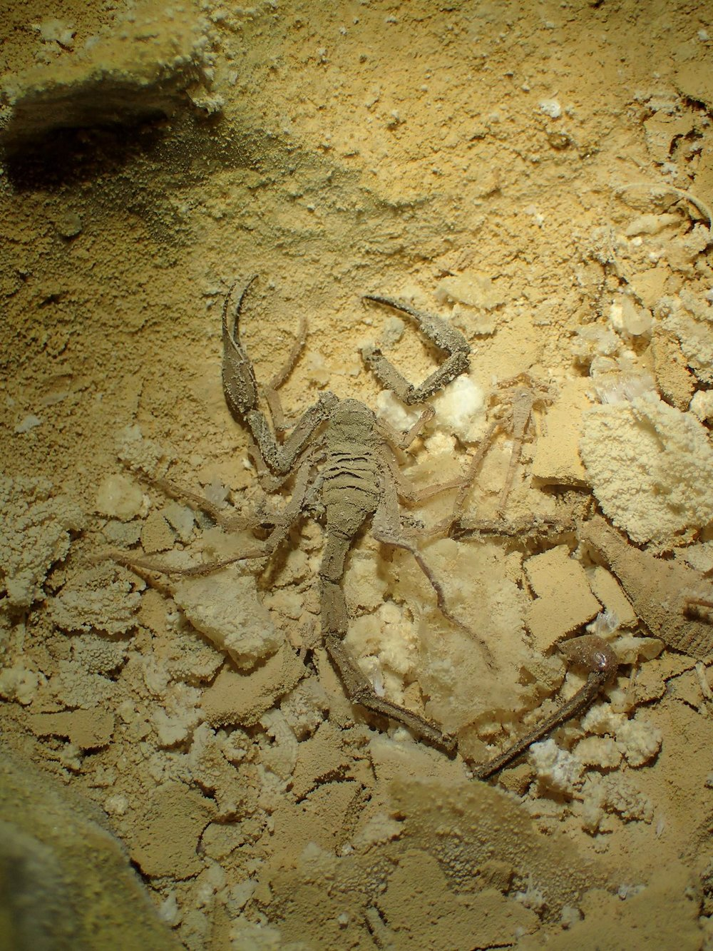 A dead scorpion (Alacran Tartarus) in a fossil cave passage known as the Dead Sea. Photo by Maxwell Fisher.