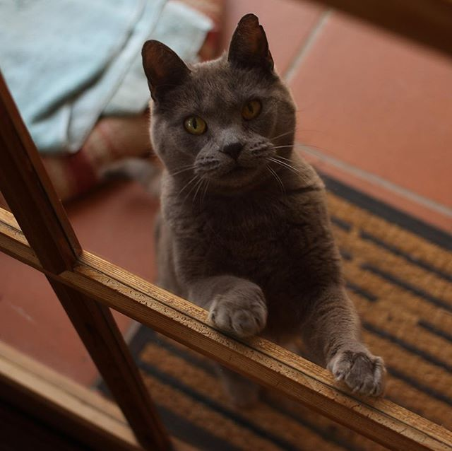 She cute, but only from behind the glass where I am safe. #evilcat #russianblue #newlens #lookscanbedeceiving