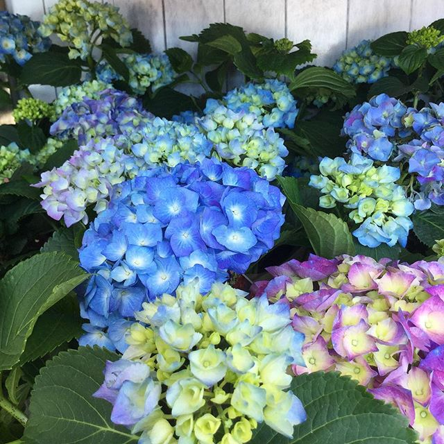 Local grown Hydrangea plants 🙌🏼
