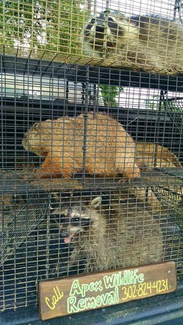 apex-wildlife-de-Raccoons.jpg