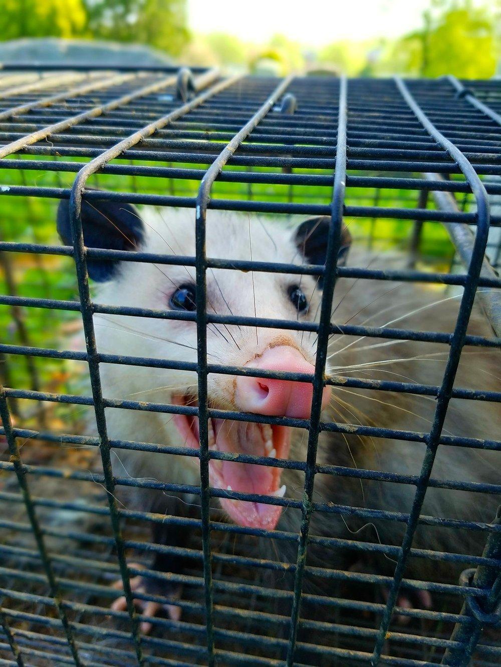 Opossum3.jpg