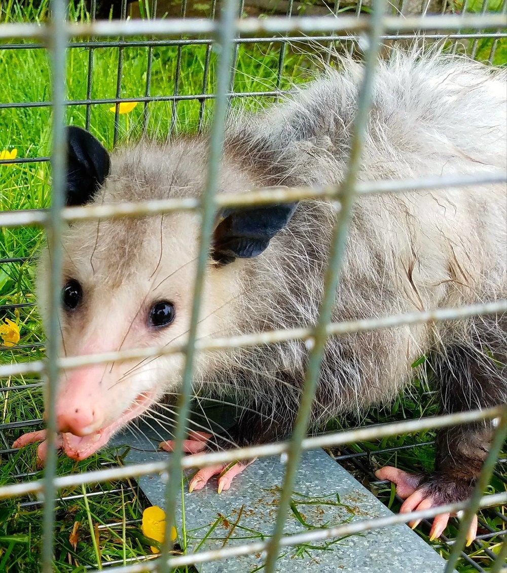 opossum1.jpg